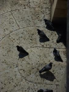 Les fameux pigeons tueurs