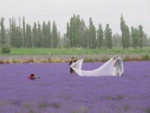 Champs de lavande, moulins et publicité pour la Provence chinoise