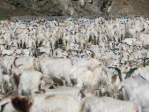 Chèvres aux cornes multicolores